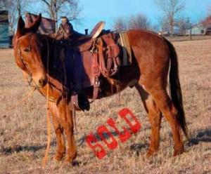 Cowboy – 10 year old Horse (john) Mule