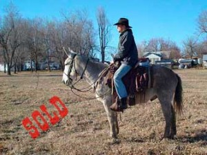 Coope – 7 year old Horse (john) Mule