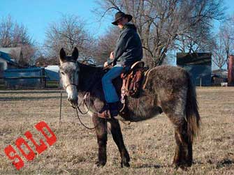 Dru – 7 year old Horse (john) Mule