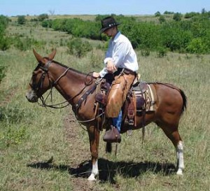Reatta – 8 year old mare (molly) mule