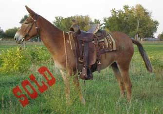 Sue – 11 year old Mare (molly) Mule