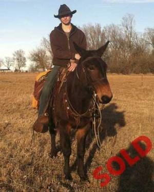 Mongo – 12 year old Horse (john) Mule