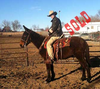 E-Z – 8 year old horse (john) mule