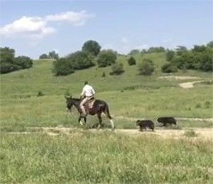 BW – 8 year old mare (molly) mule