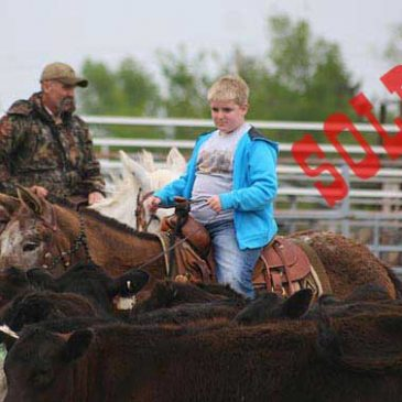 Quin – 12 year old horse (john) mule