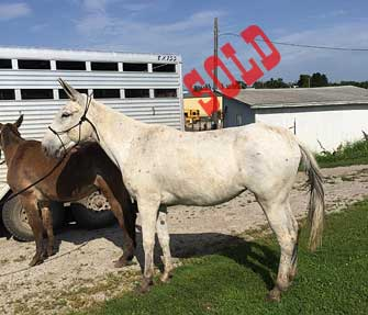 Puff – 12 year old mare (molly) mule