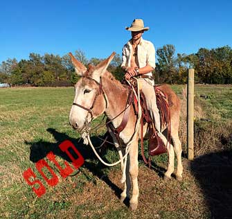 Dorito – 5 year old mare (molly) mule