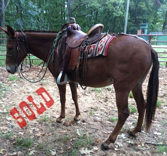 Jocko – 14 year old horse (john) mule