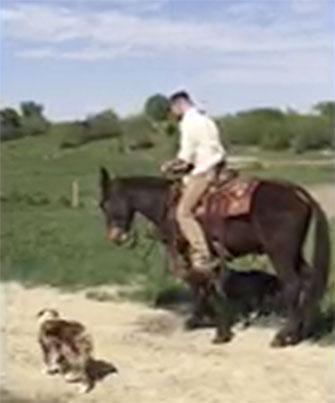 Angus – 8 year old horse (john) mule