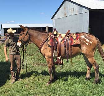 Chief – 9 year old horse (john) mule