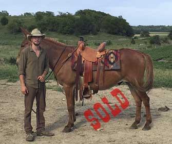 Drifter – 15 hand horse (john) mule