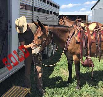 Romeo – 9 year old horse (john) mule
